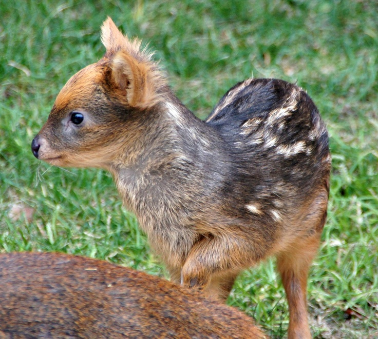 How do you do little Pudu?  World's smallest deer species born at Detroit Zoo