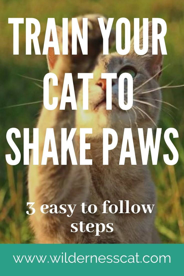 How To Train Your Cat To Shake Paws Dog Training Training Tips