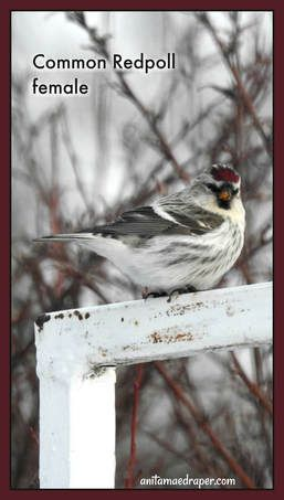 Common Redpoll, female, sighted on January 8, 2018 by Anita Mae Draper.