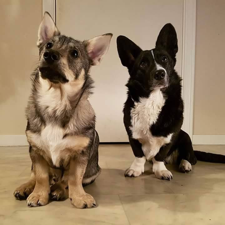 A Corgi and his lesser known cousin the Swedish Vallhund / Västgötaspets aka. Viking/Wolf Corgi! http://ift.tt/2o9qErx