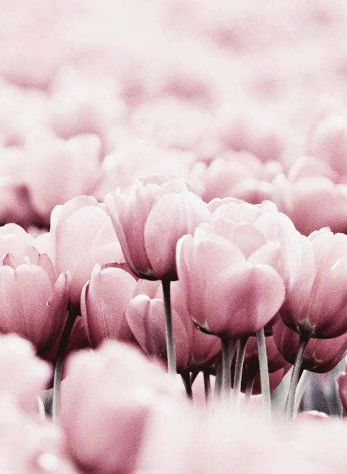 Beautiful pale pink tulips