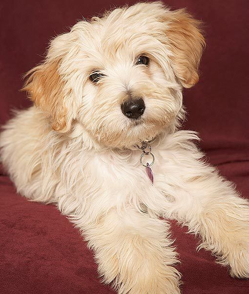 109 Best Images About Small Dog Breeds On Pinterest