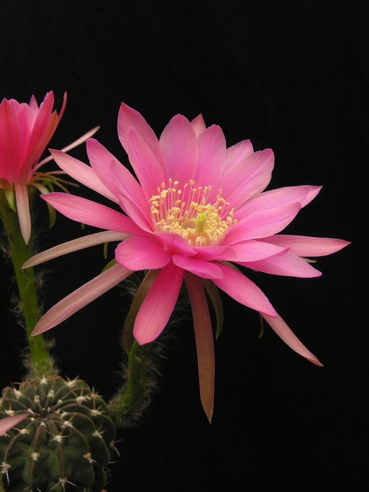 Echinopsis obrepanda var. calorubra