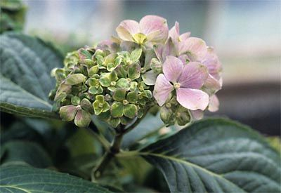 virescence: state or condition in which normally white or colored tissues (e.g. flower petals) become green (a partially virescent flower head in a hydrangea infected with a phytoplasma)