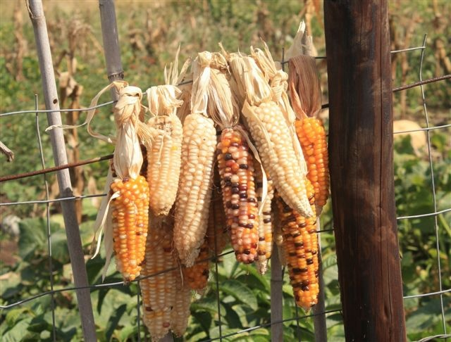 Vegetables: Maize (corn) is probably the biggest staple food in South Africa. It is ground up and used as mielie-meal in food dishes, and can also be cooked and eaten by itself. It is also quite easy to grow. One serving would be one cob, or about 1 cup.