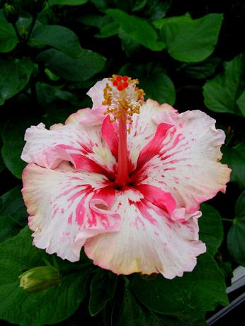 Hibiscus 'Zoey'