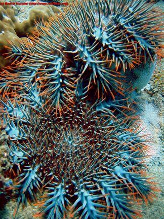 Etoile de Mer ~ Acanthaster Planci