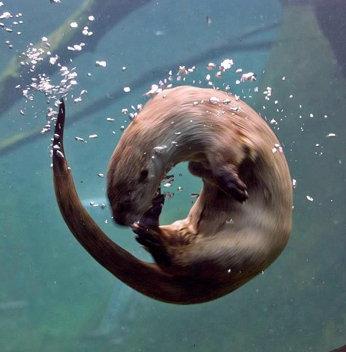 Otter Spins Underwater  Photo by Patty Avritt; submitted by odditycommodity!