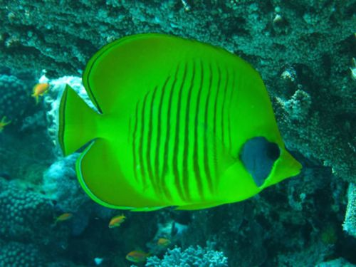 17 Best Images About Fish On Pinterest Betta Clowns