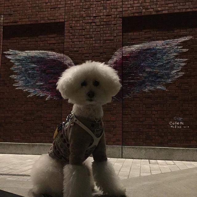 夕散歩🐶🎵 MARINE&WALK YOKOHAMA  Walking evening 🐶nice shooting point 🎵  #poohlover #doglovers #whitepoodle #poodlegram #poodle #whitepoodle #dog #doglovers #doginstagram #poohlife #instadog #japandog #japan #しろぷー #といぷーどる #ホワイトトイプードル #プードル #プードル大好き #愛犬 #夕散歩 #みなとみらい #マリンアンドウォーク #横浜 #yokohama #minatomirai