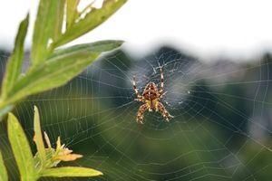 Que faire en cas de morsure d'araignée ?