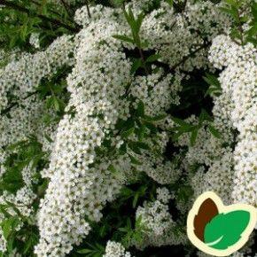Hvide blomster Blomstrer i April - maj. Kan blive op til 2,5 m. høj