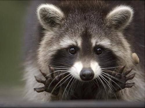 PetsLady's Pick: Cute Raccoon Of The Day  ... see more at PetsLady.com ... The FUN site for Animal Lovers