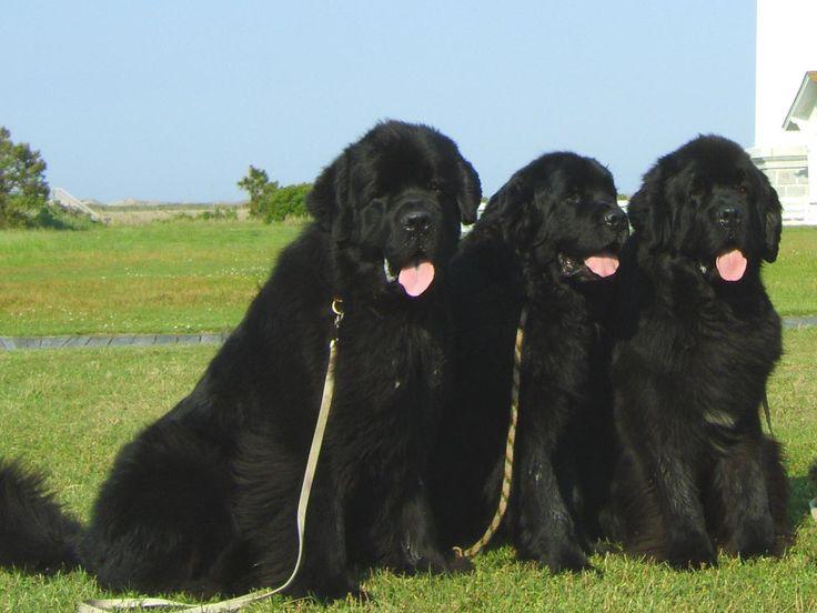 Newfoundlands, love big dogs!: Labrador Retriever, Giant Dogs, Newfoundland Dogs, Dogs Breeds, Terranova, Baby Bears, Dog Breeds, Big Dogs, New Earth