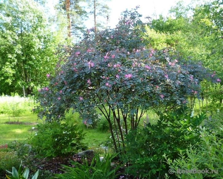 Rosa glauca google search garden plants trees and for Garden trees photos