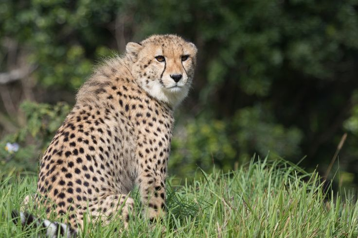 Cheetah 1 by Charissa Lotter (de Scande) on 500px