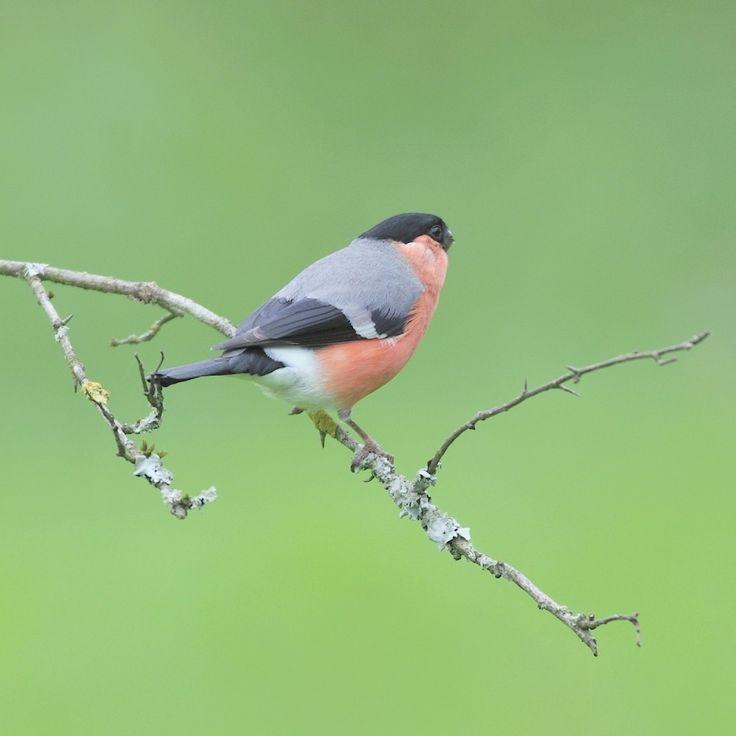 Oiseaux du jardin - Bouvreuil pivoine