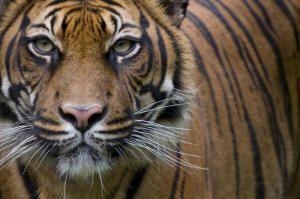 Human activities threaten Sumatran tiger population