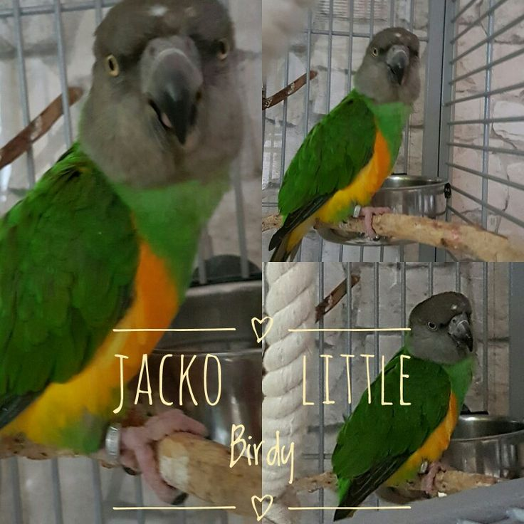 Unser kleiner Jacko Senegal Parrot  Mohrenkopfpapagei