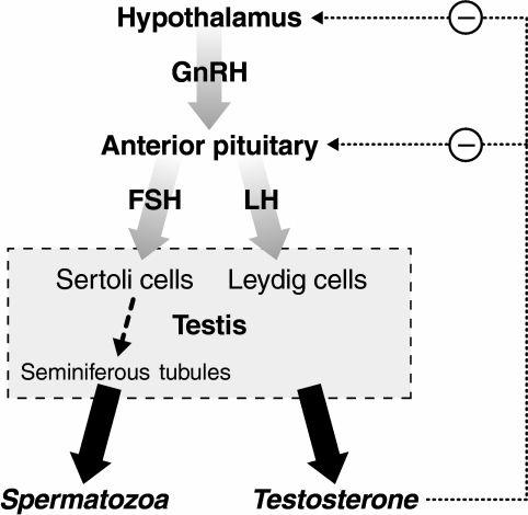 El eje hipotálamo-hipofisario-gonadal en los hombres.  GnRH, FSH, LH y tienen efectos estimulantes sobre sus objetivos.  La testosterona inhibe su liberación desde el hipotálamo y la hipófisis.  FSH, hormona estimulante del folículo;  GnRH, hormona liberadora de gonadotropina;  LH, hormona luteinizante