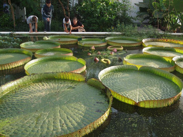ninfee, orto botanico, Padova. Italy