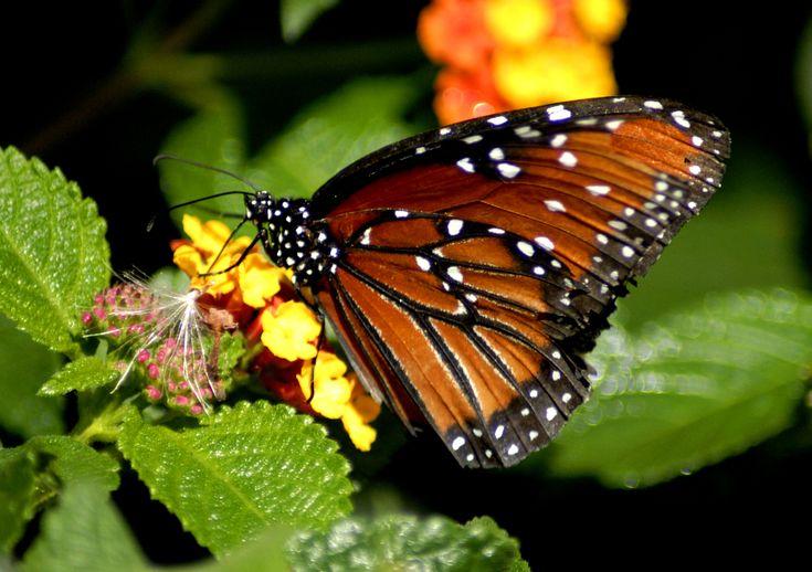 Butterflies & Moths Images On Pinterest