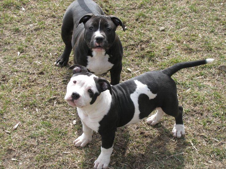 Black and white pitbull puppies