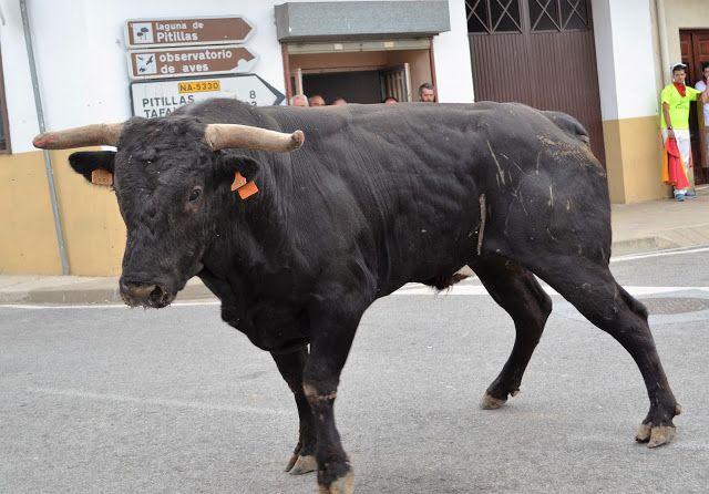 Santacara: Vacas de Pedro Dominguez Año 2015 (13)