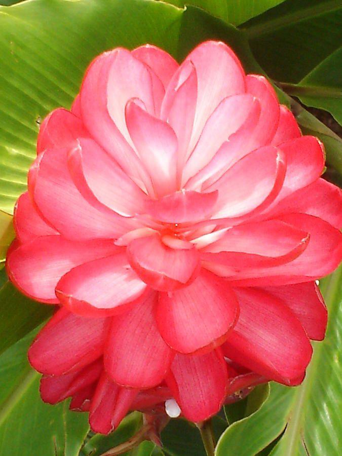 Cimi Pink Ginger Flower Photograph