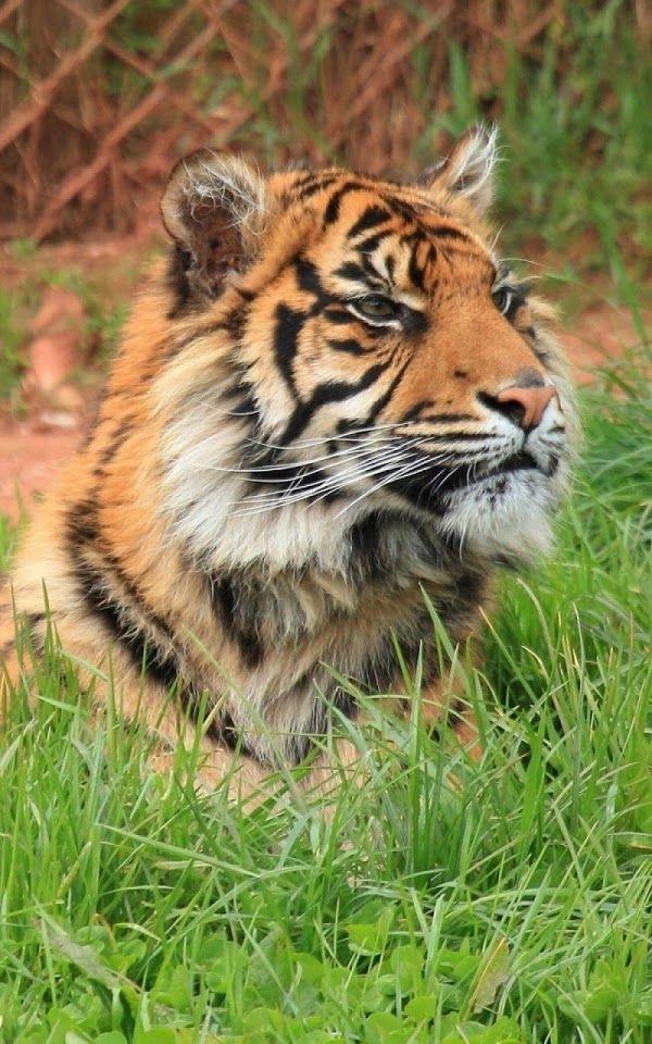 Tiger Big Cat Wild ♥g♥