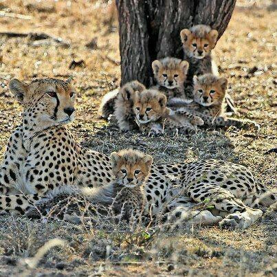 I ❤ the little cubs in the background    - 6 Cheetah Cubs.  I hope at least half make it.  Mom will have to work very hard to hunt and keep them safe too...