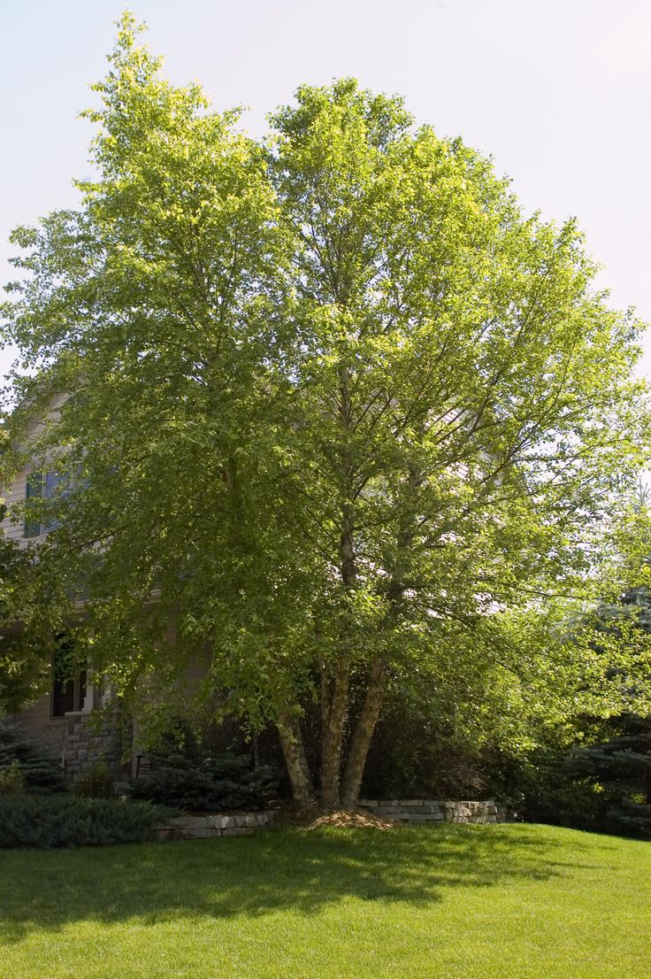 Heritage Birch #tree is a type of River #Birch that is faster-growing and has larger and shinier leaves than other River Birch. Depending upon where you live, you may see it grow up to 30 inches a year! It's exceptional feature is the exfoliating bark that will create an unusual visual effect for your #yard year round. Layers of brown and salmon peel from the trunk to reveal the creamy bark inside, creating a shaggy appearance that is sure to draw your eye.