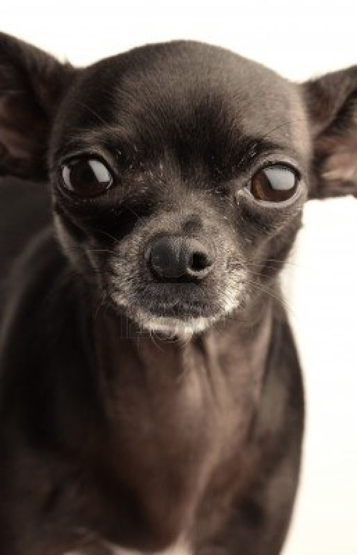 black chihuahua:) looks like my Keira.... she has white speckled hair around both eyes though