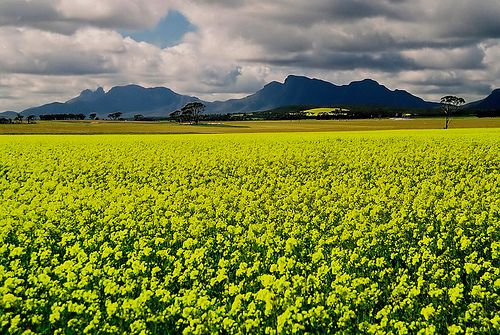 Canola fields in spring with the Stirling Ranges in the background