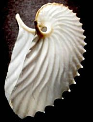 unusual shell - Google Search