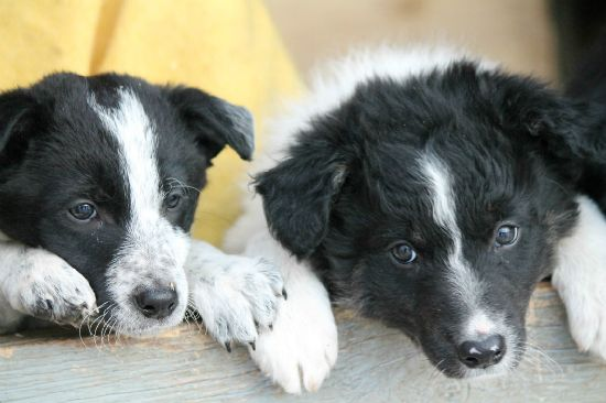 JLM Border Collies : breeder of border collie puppies and working dogs for sale.