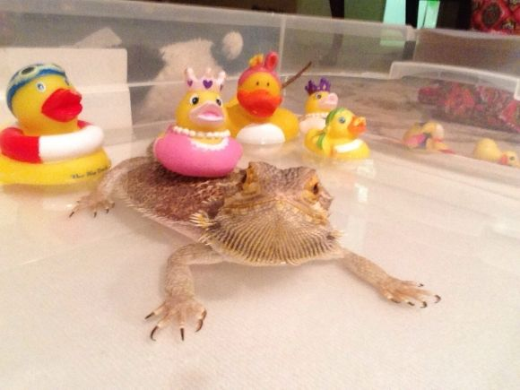 Bearded Dragon--They are desert lizards.  I didn't know you could bathe them.
