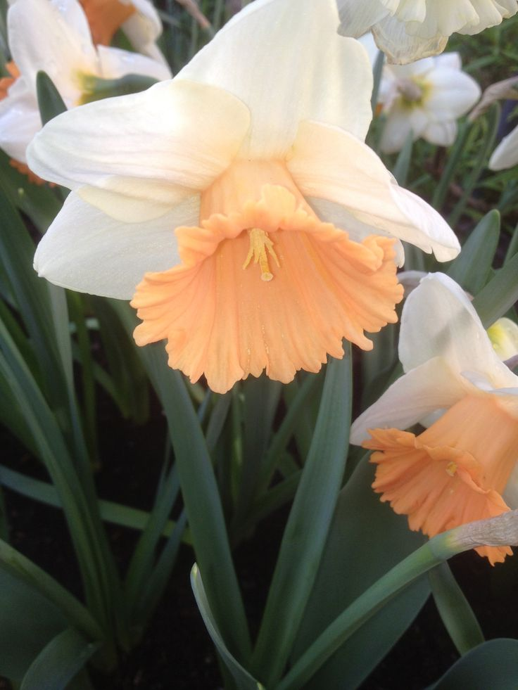 1000 Images About Daffodils Jonquils Narcissus On