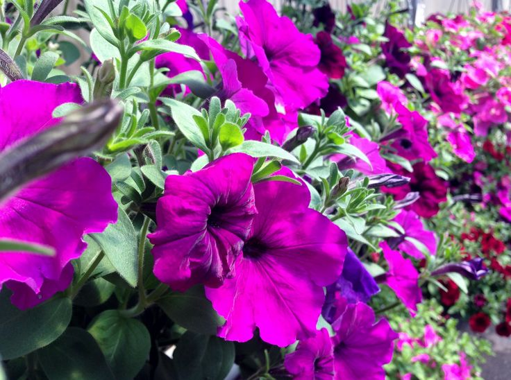 Wave Petunia Hanging Baskets. Trailing and spectacular.
