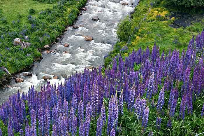 Patagonian Spring Color, Purple lupine, or chochos, along a nameless stream near Coyhaique, capital of the XI Region, Chilean Patagonia