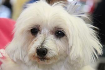 Pictures of Hula a senior female Maltese Mix for adoption at National Mill Dog Rescue, Colorado Springs, CO who needs a loving home.