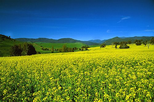 Canola Field, New South Wales