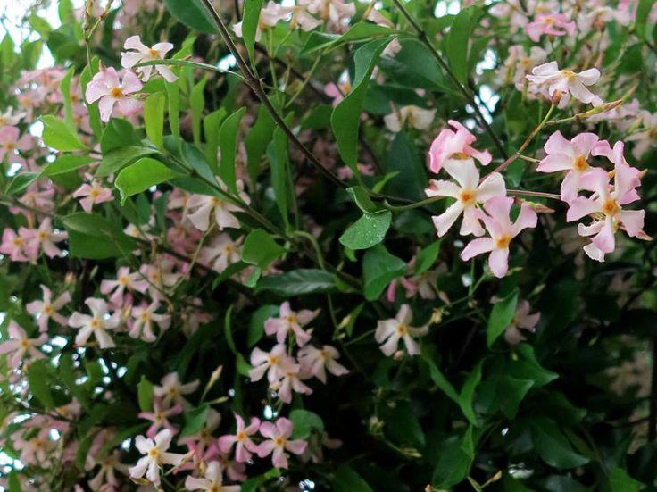 die besten 25 trachelospermum jasminoides ideen auf pinterest kletterpflanzen jasmin stern. Black Bedroom Furniture Sets. Home Design Ideas