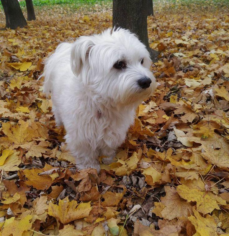 Foto v jesenných listoch musí byť ;) #fall🍁 #jeseň #dog🐶 #whitedog #autumn #fallday #jesennyden #vencime #cutedog #mydog #rannevencenie #skorerano