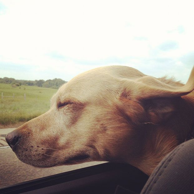 Tucker, a yellow Labrador retriever from Ft. Worth, Texas