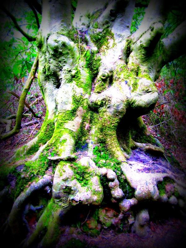 Knobbly old tree  Altamont Gardens. Kilkenny, Ireland
