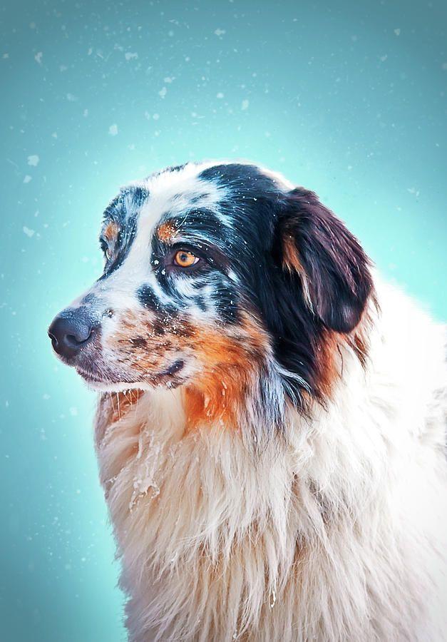 Marble Aussie Photograph by Oksana Ariskina #OksanaAriskina #OksanaAriskinaFineArtPhotography #Dog #Pet #ArtForHome #FineArtPrints #InteriorDesign #PrintsForSale #Marble #Aussie #Blue