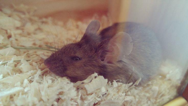 Pet mouse
