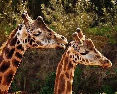 E Chester Painting GIRAFFES, chester zoo, giraffe, chester, wall art, home decor, art ...