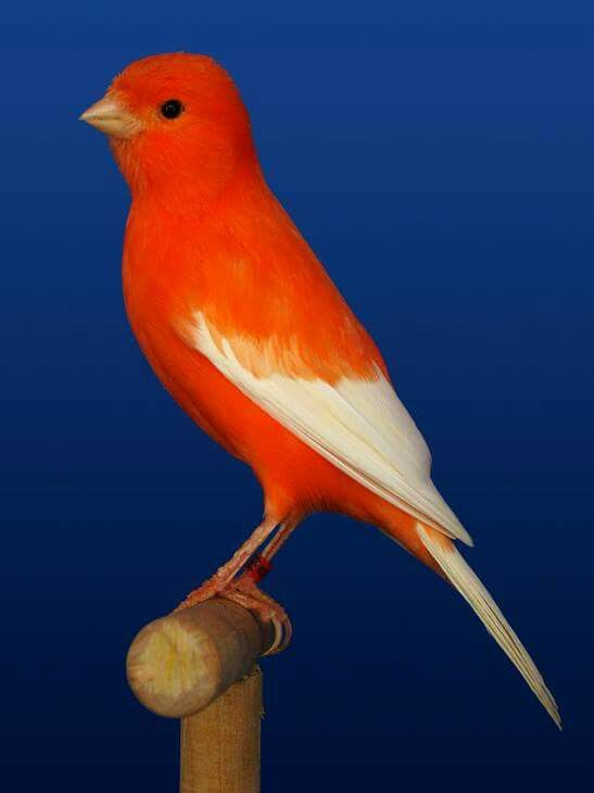 Canario Rojo